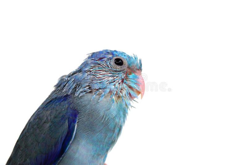 Cute Baby Pacific Parrotlet, Forpus coelestis, perched against. White background royalty free stock photo