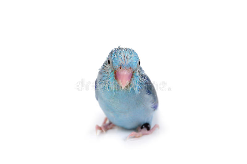 Cute Baby Pacific Parrotlet, Forpus coelestis, perched against. White background stock photography
