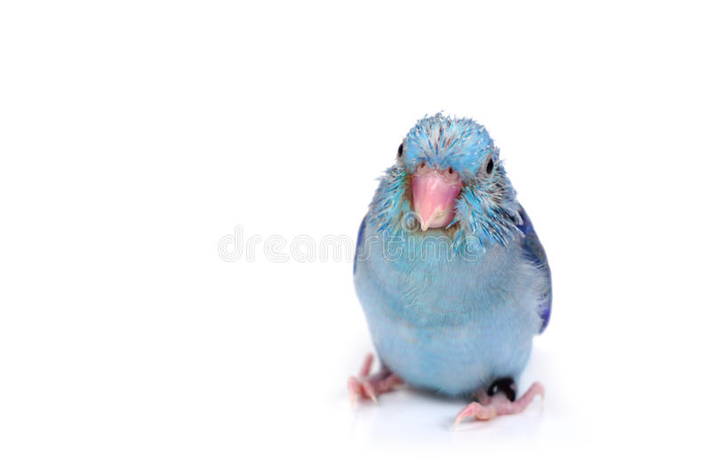 Cute Baby Pacific Parrotlet, Forpus coelestis, perched against. White background stock image