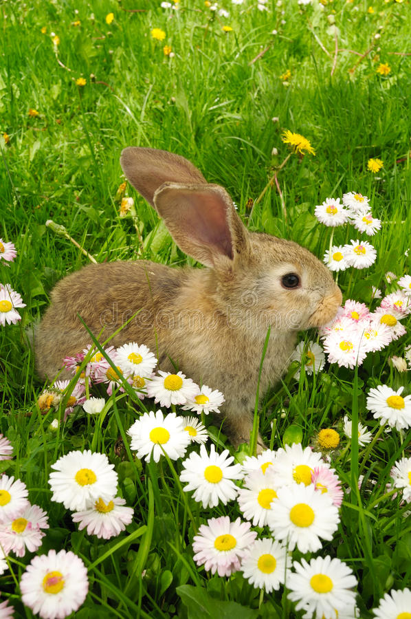 Cute Baby Rabbit. A cute grey baby rabbit in grass royalty free stock photos
