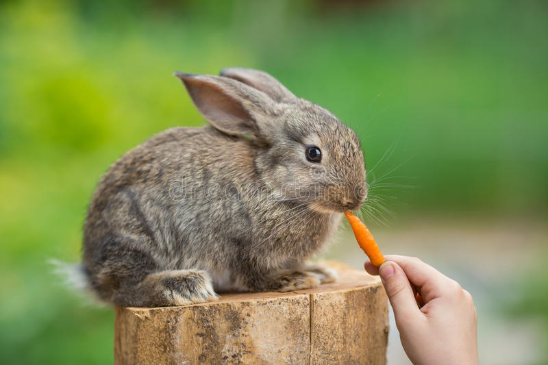 https://thumbs.dreamstime.com/b/cute-baby-rabbit-feeding-animal-eating-carrot-human-hands-healthcare-love-to-animals-concept-69397840.jpg