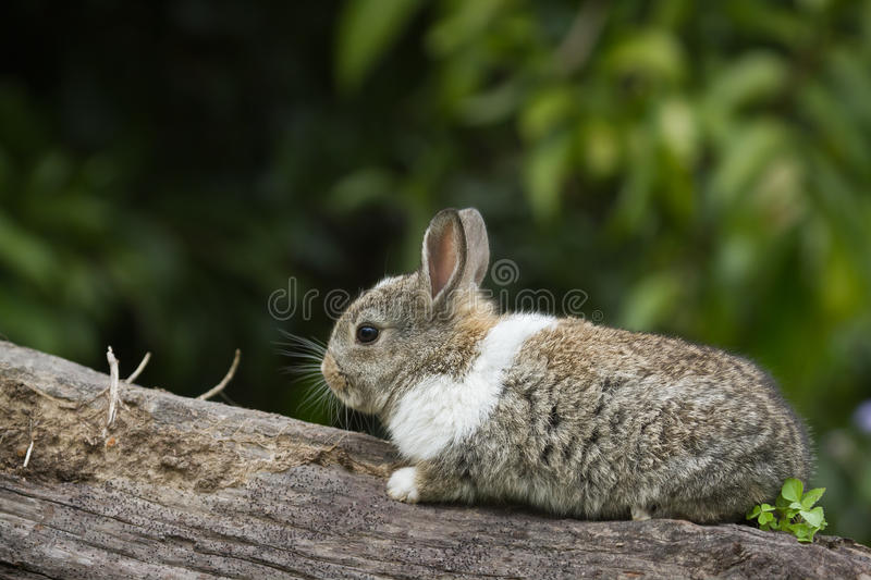 Cute baby rabbit on a log. Cute baby rabbit walking on a log stock image