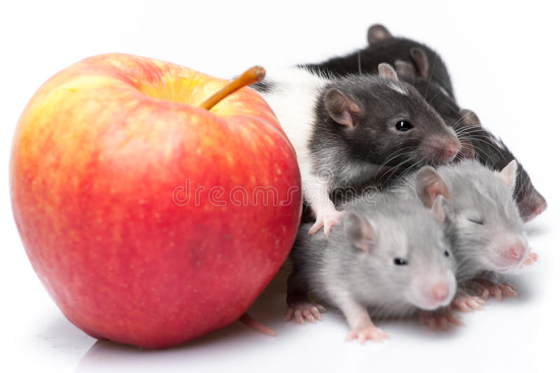 Cute baby rats. Resting on white background stock photos