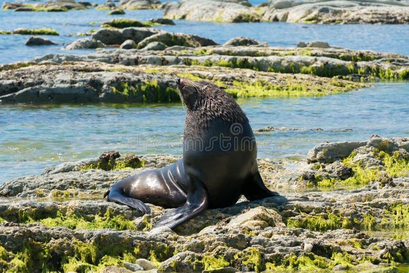 Cute baby seal on rock beach stock photo