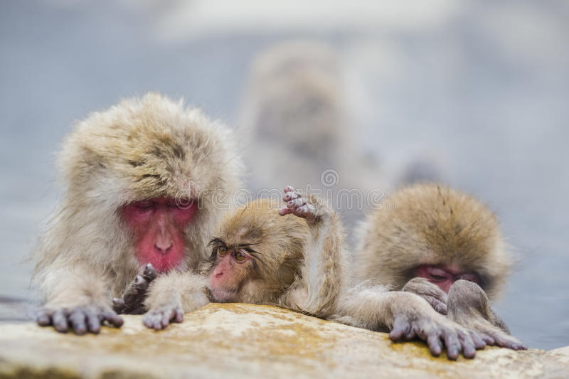 Cute Baby Snow Monkey Playing in Steam. As momma and sibling snow monkeys sleep with paws on the ledge in the hot steamy mineral springs, a cute little baby wild royalty free stock photography
