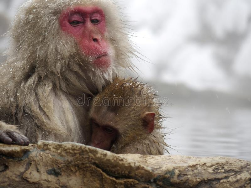 Cute baby snow monkey sucking milk from mom inside hot springs while the snow falls in the winter season-Japan. The cute moment of mother and baby snow monkeys royalty free stock image