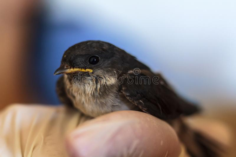 Cute baby swallow in human hand royalty free stock image