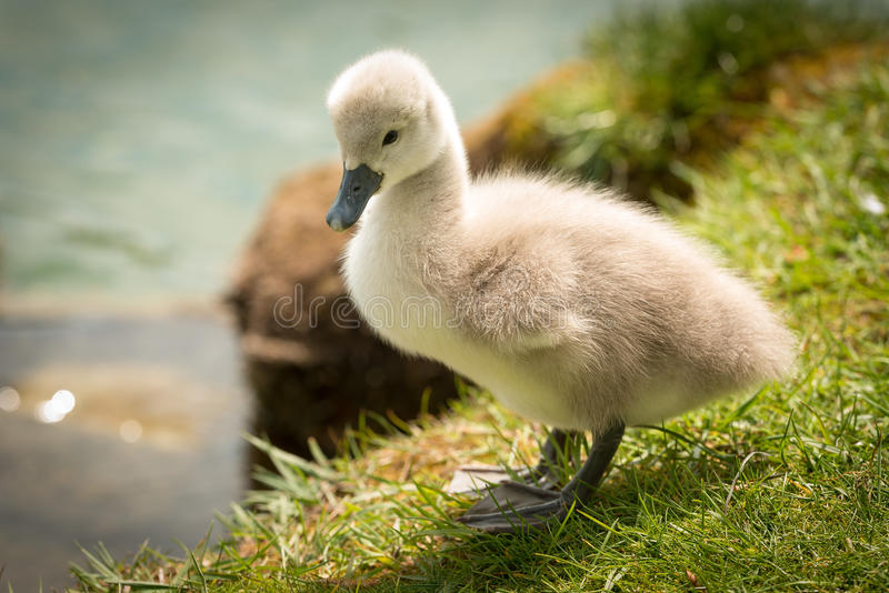 Cute Baby Swan. Only a few days after Birth stock photography
