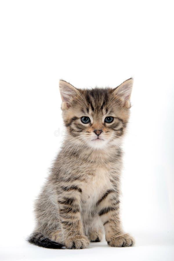 Cute tabby kitten sitting on white stock photography