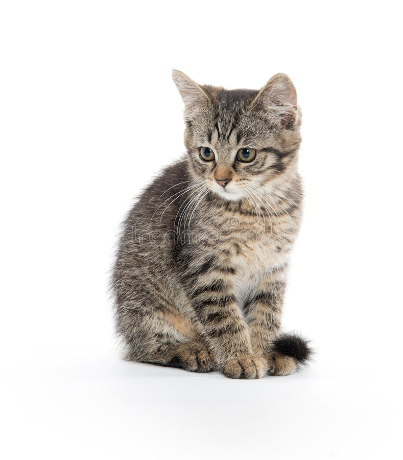 Cute tabby on whiteq royalty free stock images