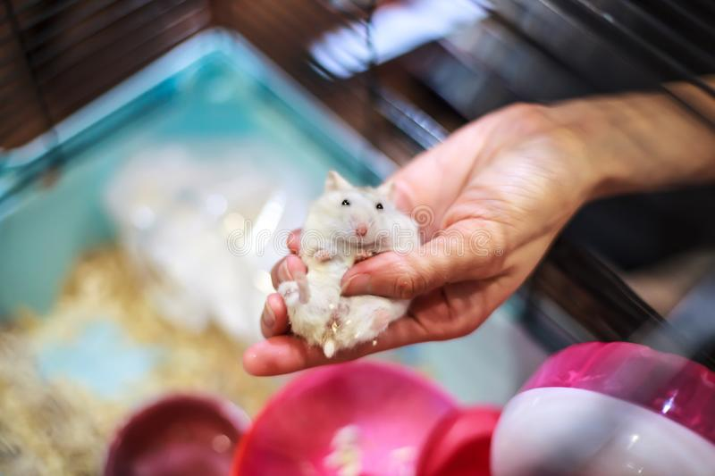 Cute Baby Tricolor Female Exotic Winter White Dwarf Hamster lying comfortably in owner palm hand in the cage. Winter White Hamster stock photography