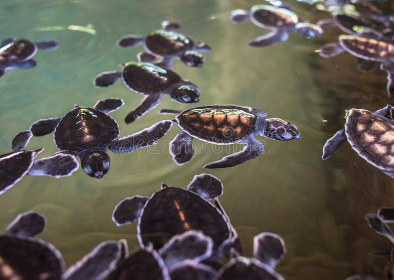 Cute baby turtles swimming in the water. Animal background stock photos