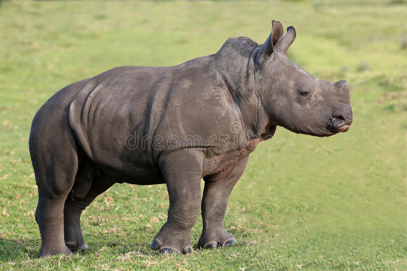 Cute Baby White Rhino. Baby white rhino with the start of a horn and ears pricked stock images