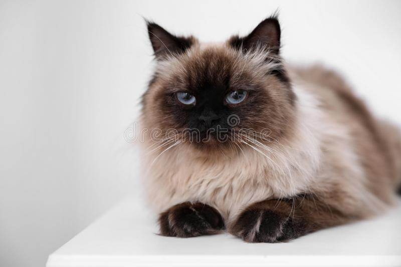 Cute Balinese cat on table at home. Fluffy pet stock photos