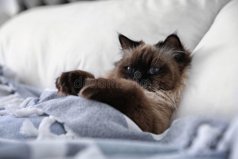 Cute Balinese Katze mit Decken auf dem Bett bedeckt Fluffy-Haustier lizenzfreie stockfotos