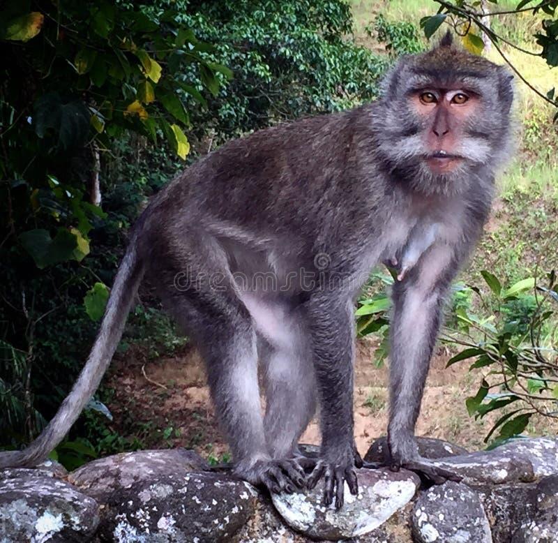 Cute Balinese monkey stock photography