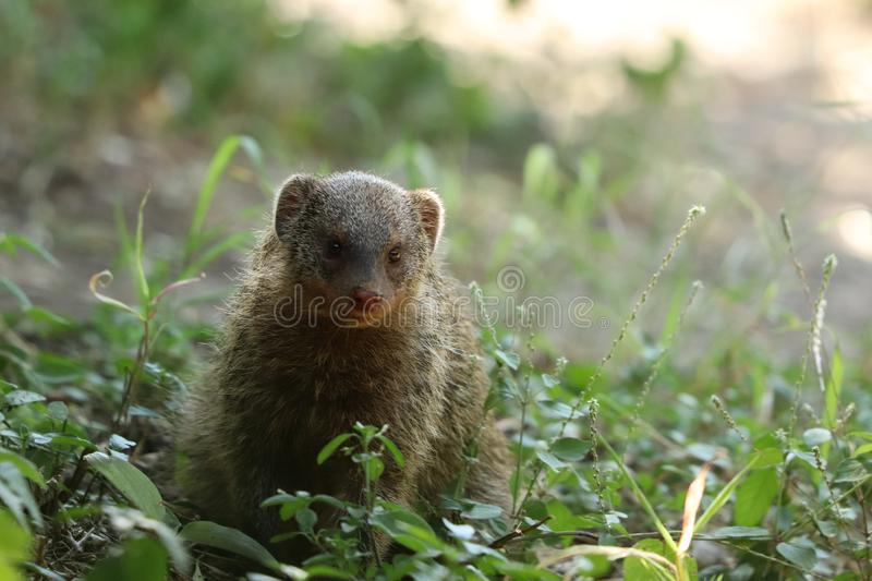 Banded mongoose in the grass, in the african savannah. Cute banded mongoose closeup, in the Maasai Mara National Reserve, in Kenya royalty free stock photo