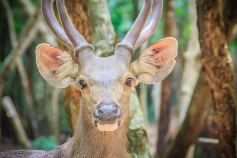 Cute Barasingha (Cervus duvauceli), also called swamp deer, graceful deer, belonging to the family Cervidae (order Artiodactyla) stock images