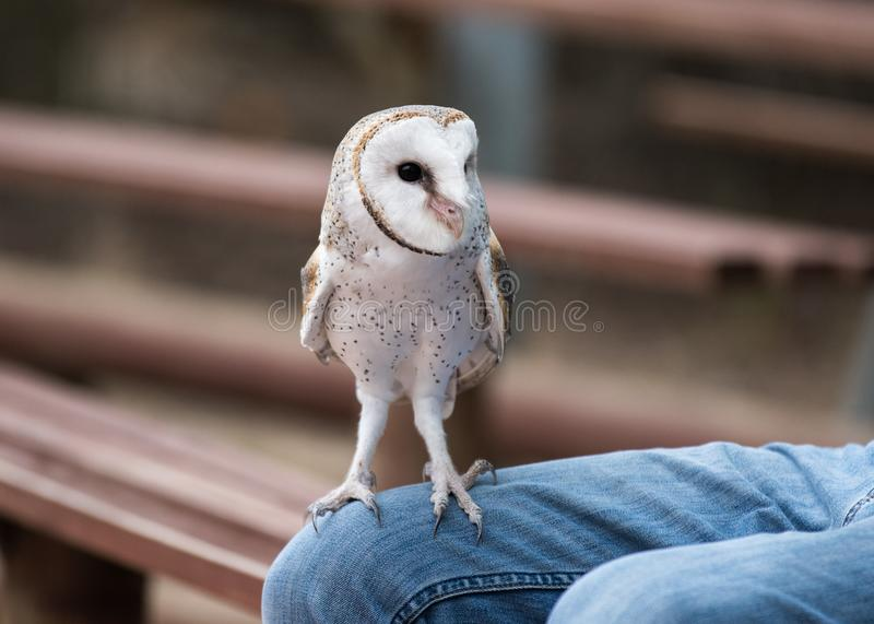 Cute barn owl, Tyto alba, with large eyes and face looks like a heart sitting on a lap of its owner in blue jeans. Tame. Cute barn owl, Tyto alba, with large royalty free stock image