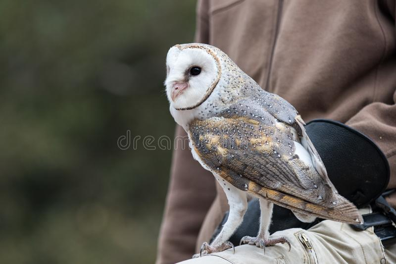 Cute barn owl, Tyto alba, with large eyes and face looks like a heart sitting on a lap of its owner. Tame owl. Cute barn owl, Tyto alba, with large eyes sitting stock photo