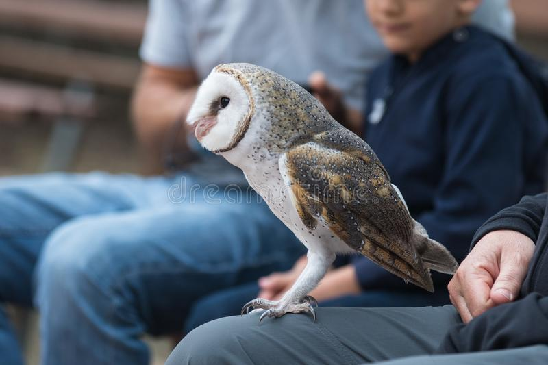 Cute barn owl, Tyto alba, with large eyes and face looks like a heart sitting on a lap of its owner in blue jeans. Tame. Cute barn owl, Tyto alba, with large stock image