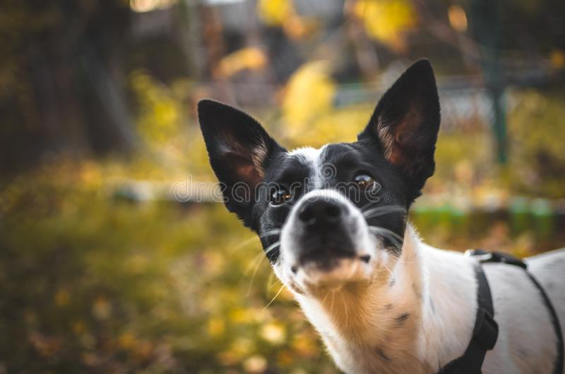 Cute basenji dog looking at the camera on an autumn background. Photo of a domestic dog of a nine month old beautiful Basenji white puppy with a black speck with royalty free stock image