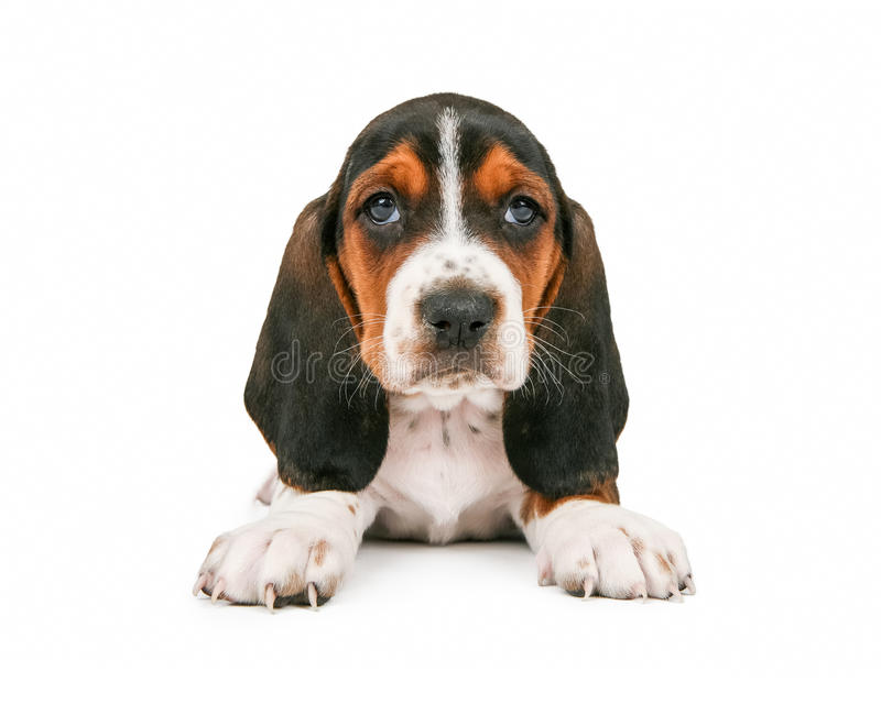 Cute Basset Hound Puppy Looking Forward. An adorable little Basset Hound breed puppy dog sitting and looking straight forward stock images
