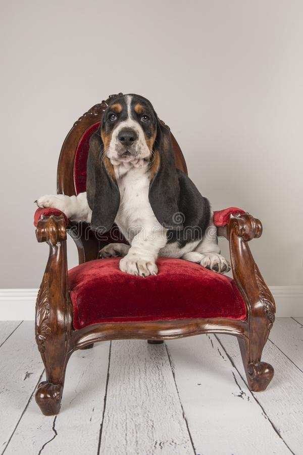 Basset hound puppy sitting on a red classic chair in a grey studio setting stock images