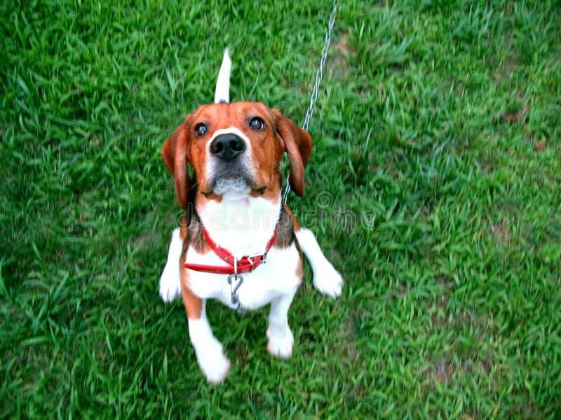 Cute beagle royalty free stock photography