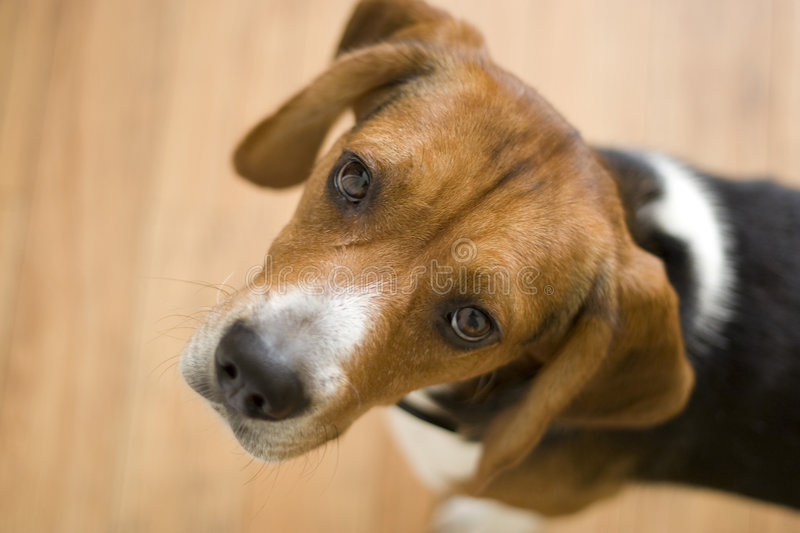 Cute Beagle Dog. A cute purebred beagle with plenty of copy space stock photos