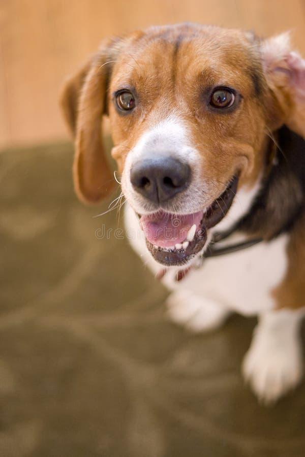 Cute Beagle Dog royalty free stock image