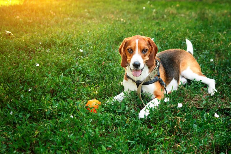 Cute beagle dog lying on green grass with ball. Game and walk dog concept royalty free stock images