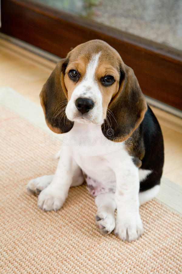 Free Cute Beagle In Living Room Stock Images - 18749744