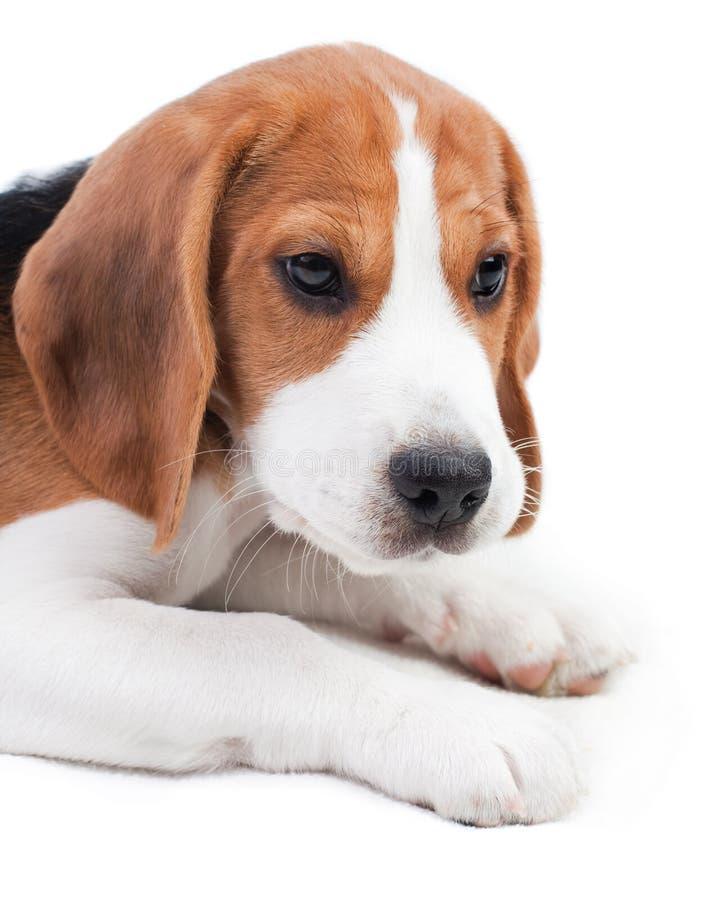 Cute beagle puppy stock image