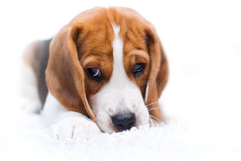 Cute beagle puppy stock photo image of friend adorable 15420442 download cute beagle puppy stock photo image of friend adorable 15420442 voltagebd Image collections