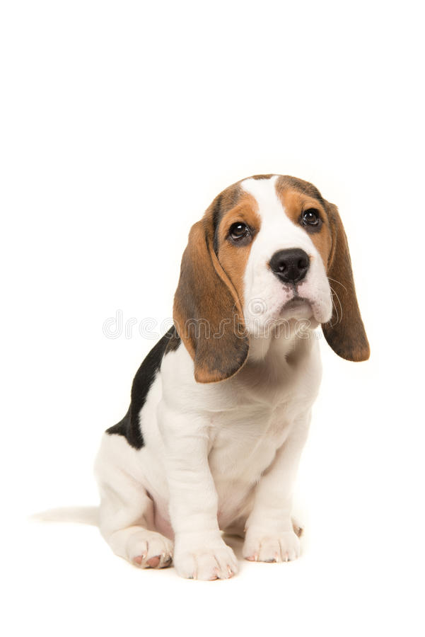 Cute beagle puppy dog sitting leaning forward royalty free stock photo