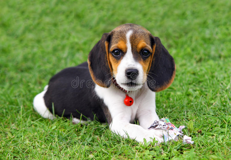 Cute Beagle puppy stock photography