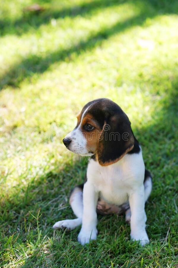 Beagle puppy sitting in the grass. Cute Beagle puppy sitting in the green grass looking off to the side royalty free stock images