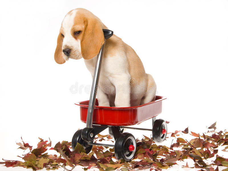 Download Cute Beagle Puppy Sitting In Red Wagon Stock Photo - Image: 9946900