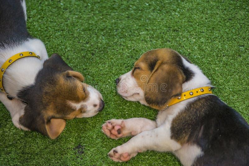 Top Two Beagle Adorable Dog - cute-beagle-puppy-sleeping-two-puppy-beagle-dog-sleeping-cute-beagle-puppy-sleeping-two-puppy-beagle-dog-sleeping-102681276  Gallery_361652  .jpg