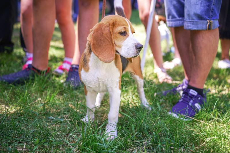 Cute Beagle puppy standing on green grass on the dog show royalty free stock photography