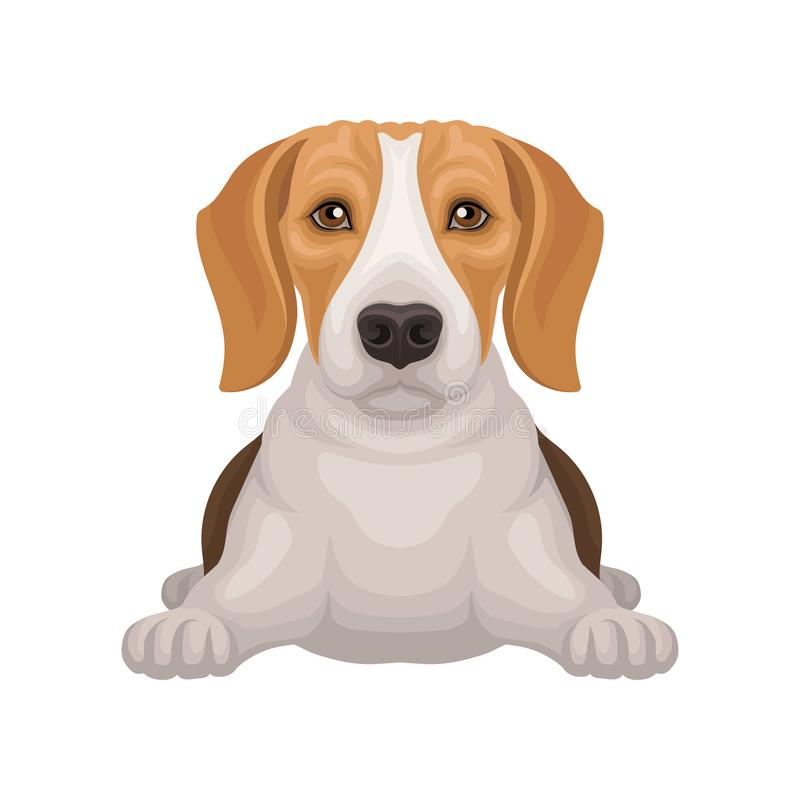 Cute beagle with shiny eyes lying isolated on white background. Small hunting dog with adorable muzzle. Flat vector stock illustration