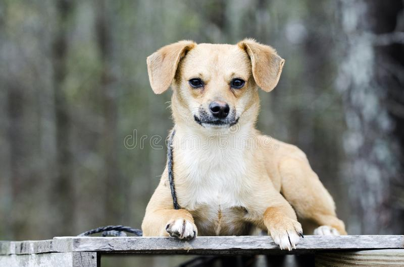 Cute Beagle Terrier mixed breed puppy dog laying on a pallet royalty free stock photos