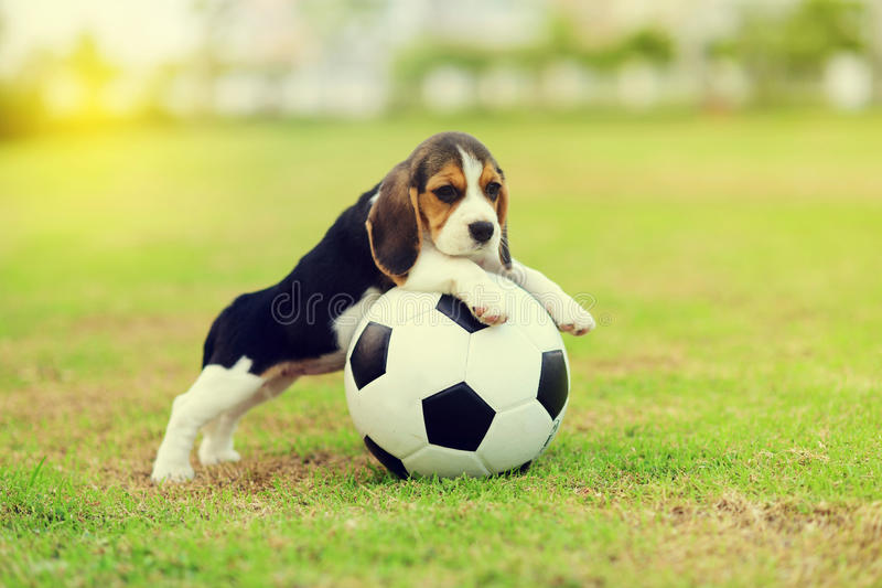 Cute Beagle stock image
