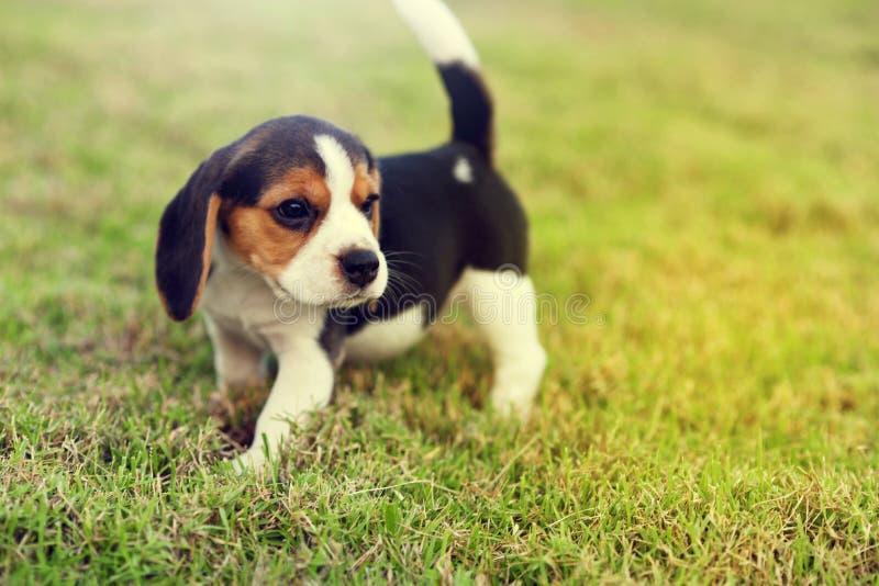 Cute Beagles. Cute young Beagles playing in garden stock photos