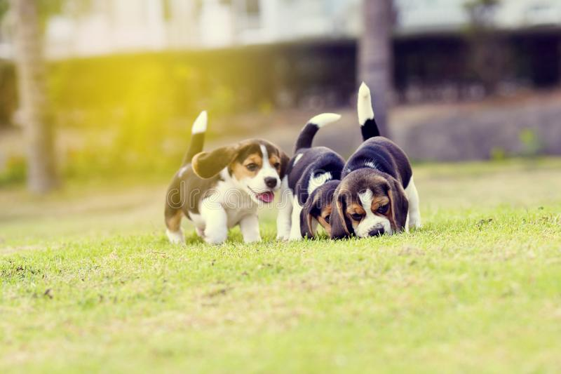 Cute beagles. Cute young Beagles playing together in garden stock photos