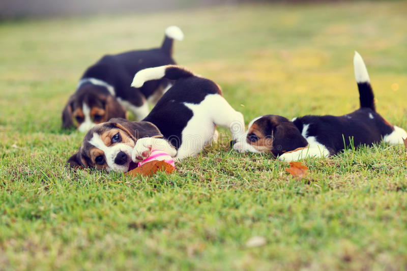 Cute Beagles. Cute young Beagles playing together in garden royalty free stock image