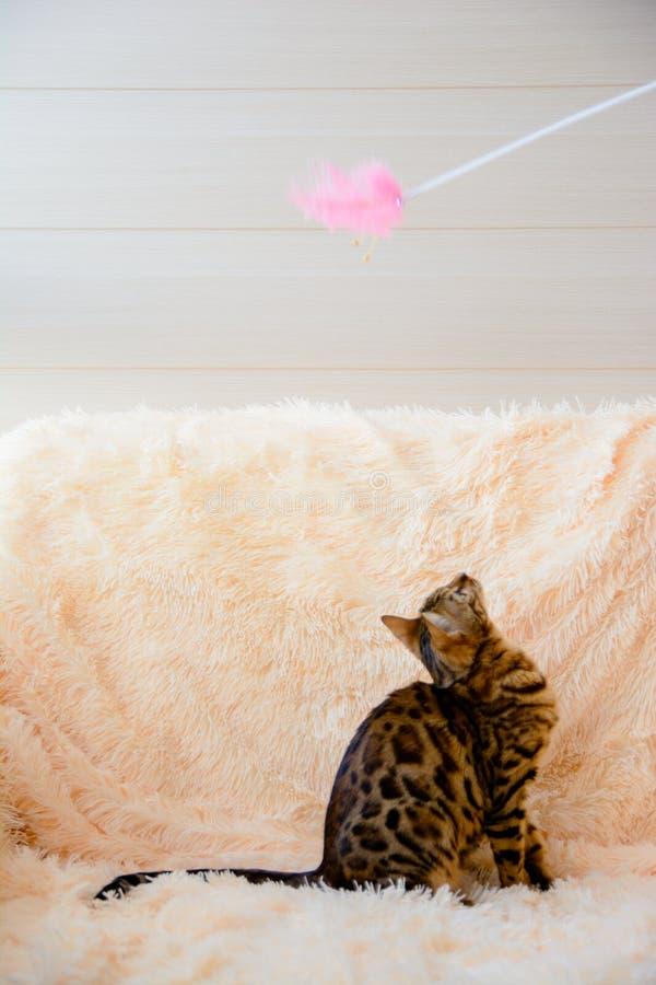 Cute beautiful Bengal cat on the carpet royalty free stock image