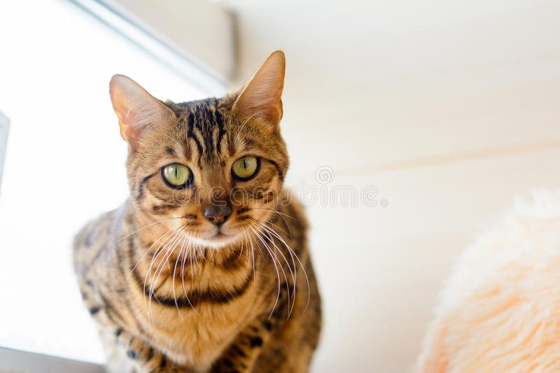 cute beautiful Bengal cat on the carpet royalty free stock photography