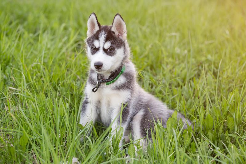 Cute beautiful Husky puppy dog royalty free stock photo